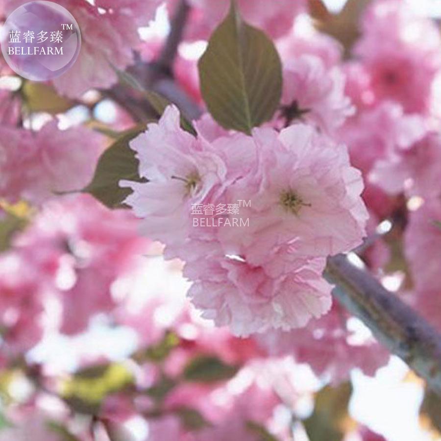 20 seeds Japanese Pink Cherry Blossom Tree Oriental Sweet Flower Seed