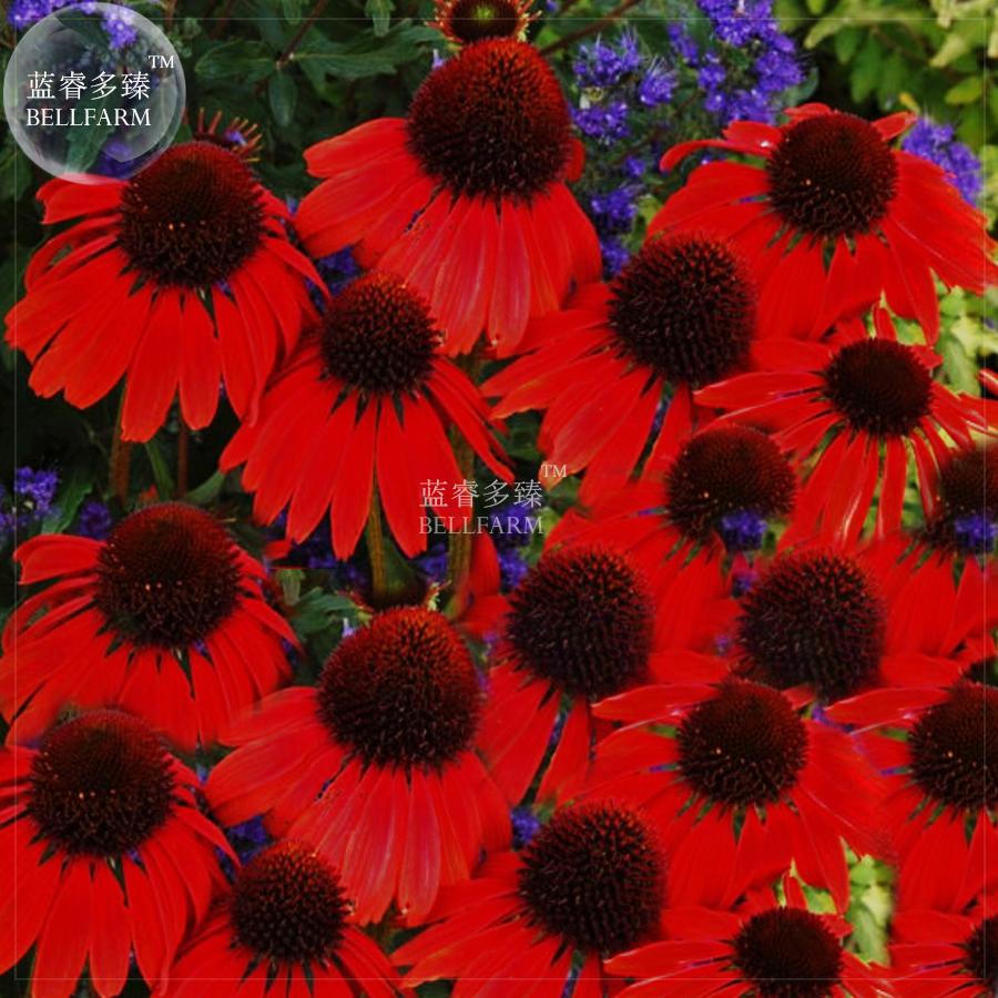 Us 399 Bellfarm Echinacea Firebird Fire Red Bonsai Coneflowers