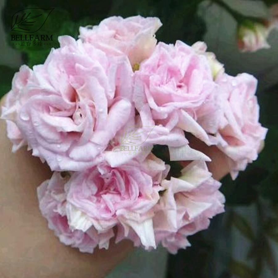 Us 199 Bellfarm Geranium Fully Light Pink Corrugated Big Blooms