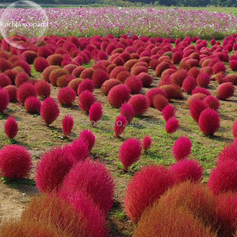 Us 0 99 Kochia Scoparia Burning Bush Grass Green Red Mixed 200
