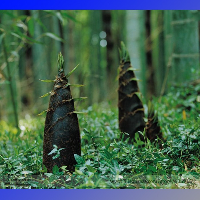 Heirloom China Moso Bamboo Shoots Tasty Vegetable Seeds, Professional Pack,  30 Seeds / Pack, Perennial Bamboo Edible E3179