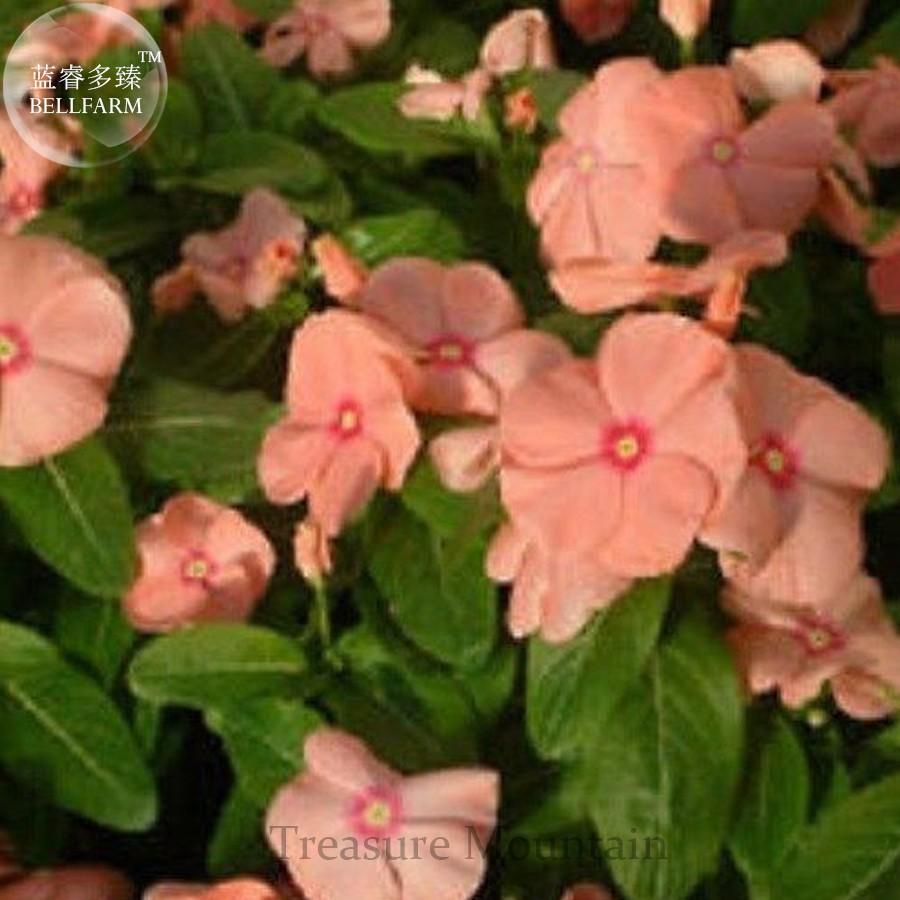 Us 099 Violet Star Vinca Flower Seeds Professional Pack 10