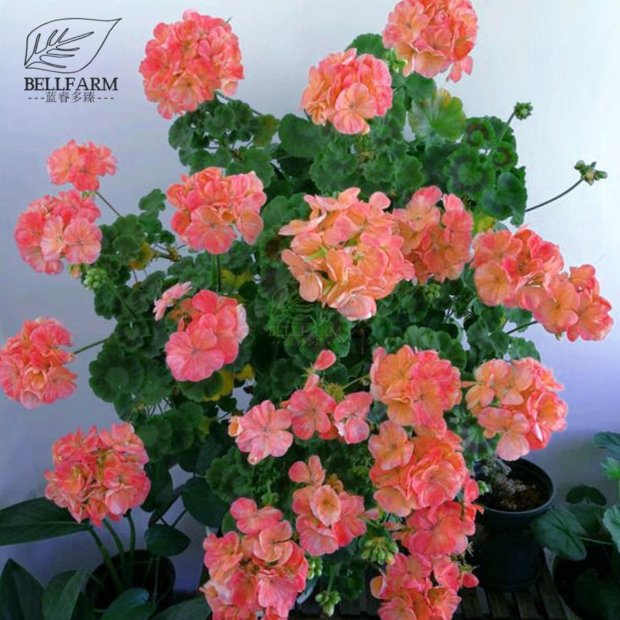 Us 199 Bellfarm Geranium Pink Golden Single Dense Petals Big