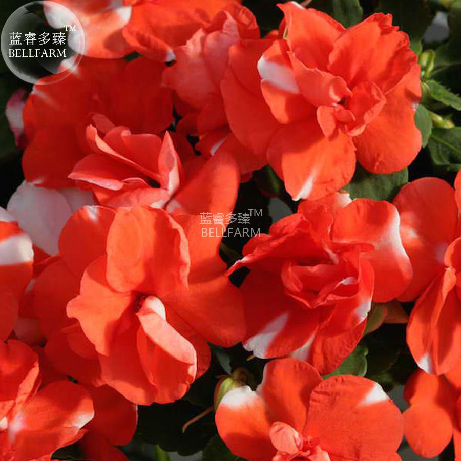 Us 088 Bellfarm Impatiens Orange Flash Garden Balsam Flower