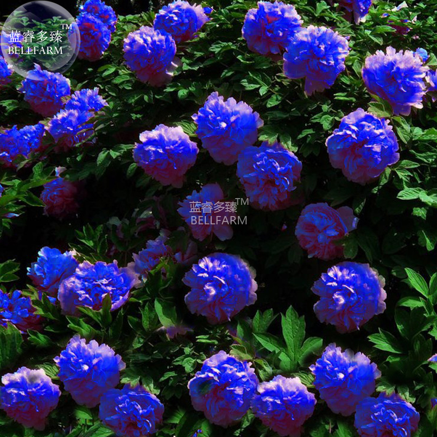 Us 099 Bellfarm Peony Dark Blue Climbing Flower Seeds 5 Seeds