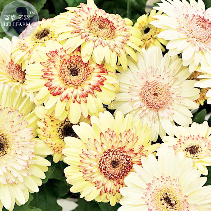 Us 299 Bellfarm Daisy Light Yellow Perennial Flower Seeds 200