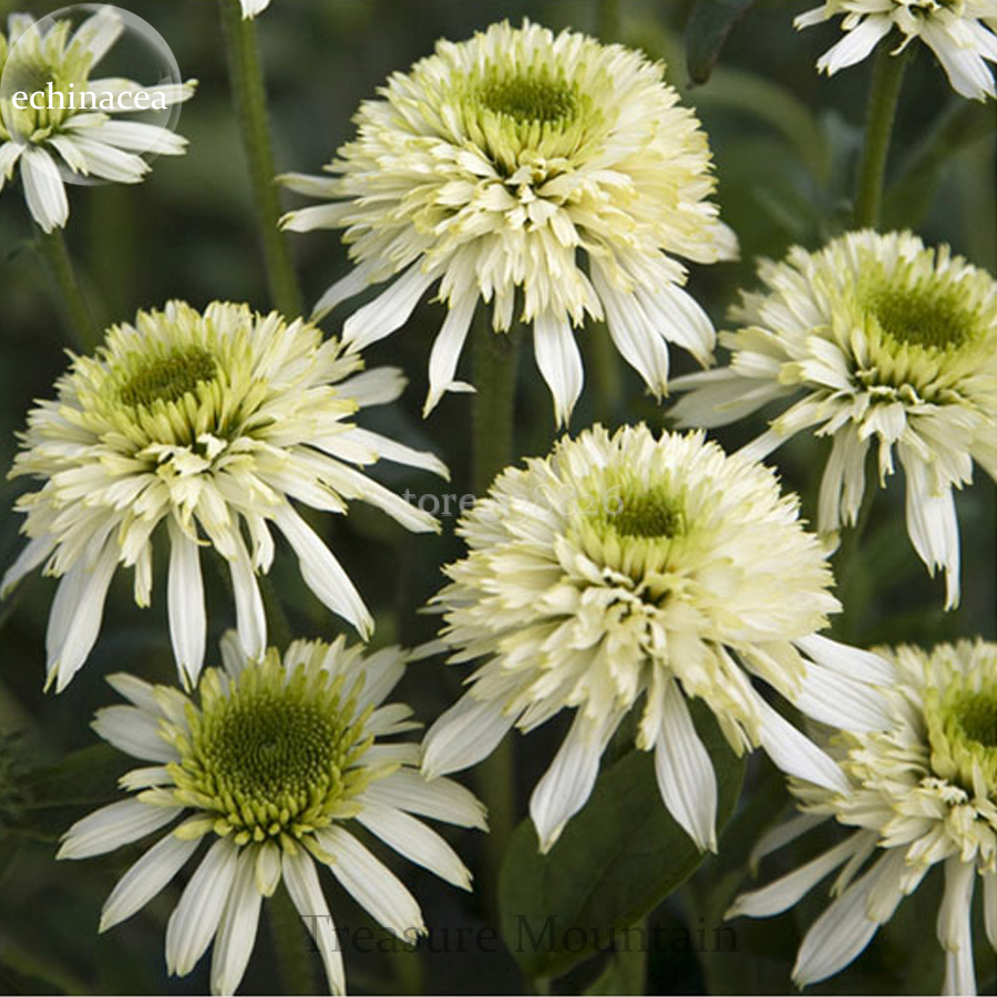 Us 3 Mozzarella Echinacea Coneflower 100 Seeds Two Layers Of