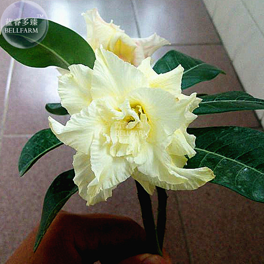 BELLFARM Adenium Whitish Light Yellow Flower Seeds, 2 seeds, 6-layer big  blooms bonsai garden desert rose plant E4289
