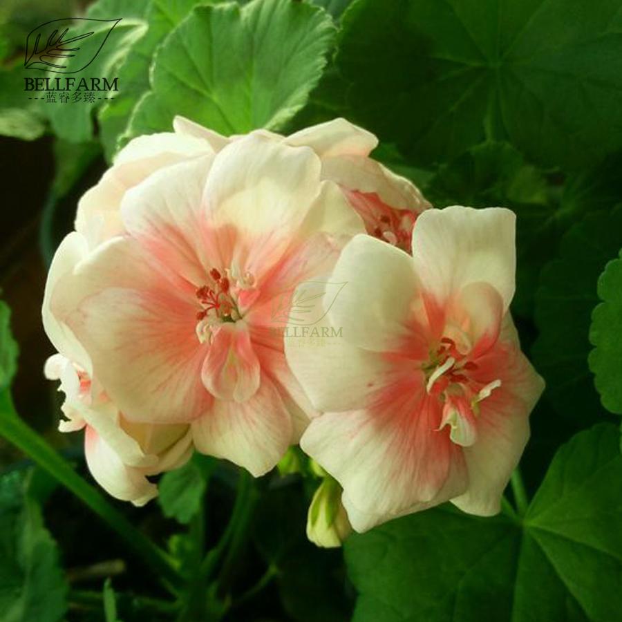Us 199 Bellfarm Geranium White To Pink Single Dense Petals Big