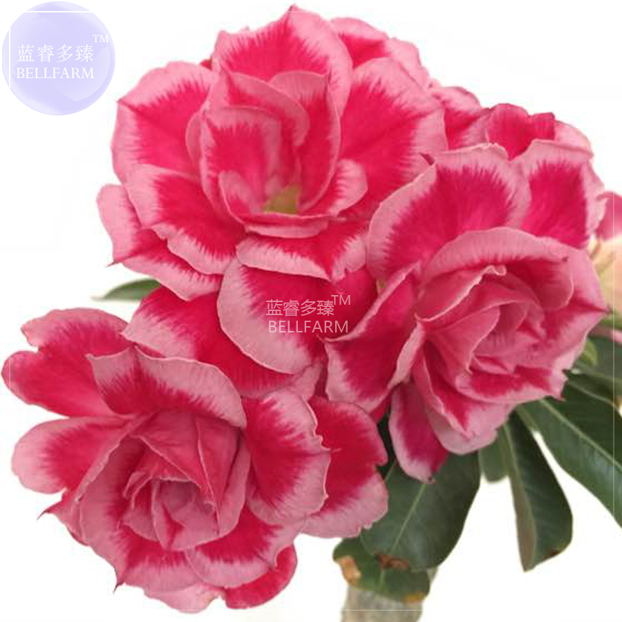 Us 159 Bellfarm Adenium Rose Pink Petals Light Pink Edge Desert