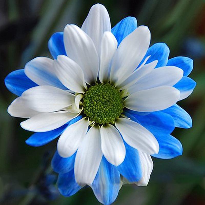 Us 1 rare ballad of dueana chrysanthemum flowers 50 seeds white white yellow flowers perennial loading zoom mightylinksfo