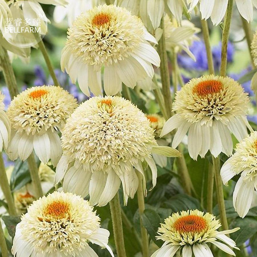 Us 373 Bellfarm Echinacea Milky White Perennial Flower Seeds