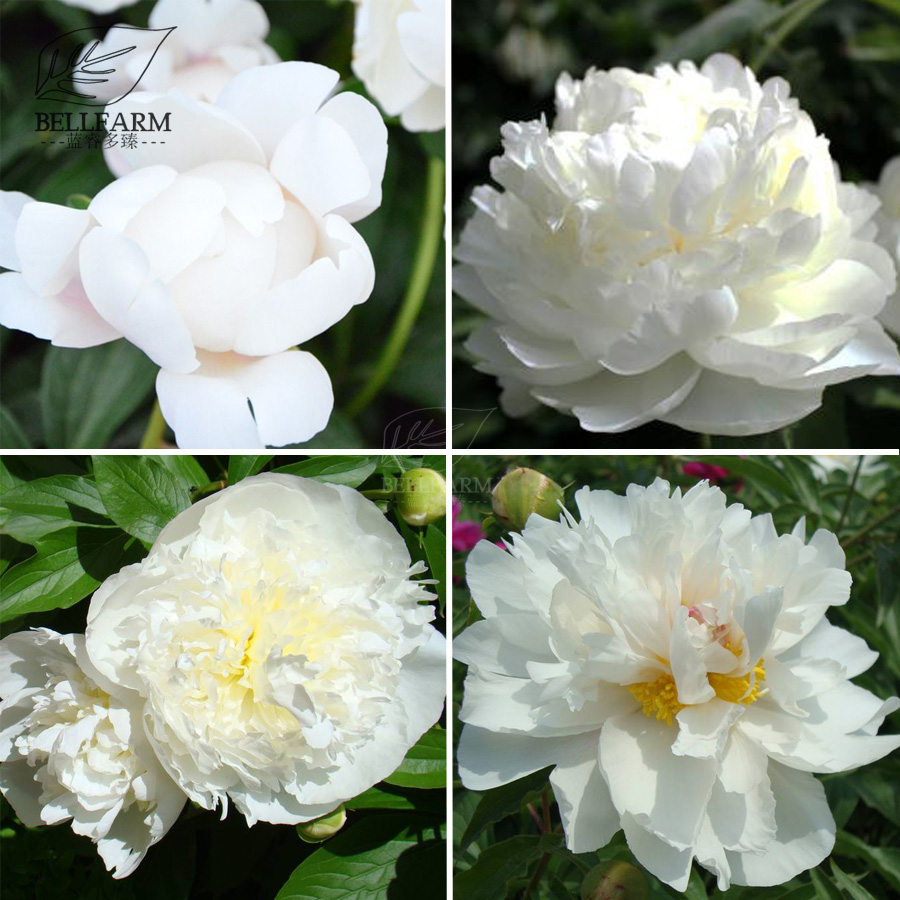 Us 1 Bellfarm Chinese Peony Mixed 4 Types Fully White Double