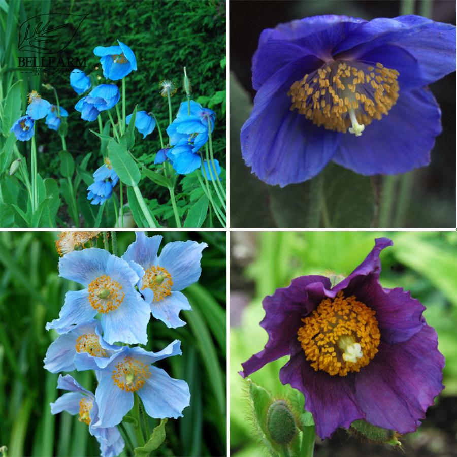 Us 1 bellfarm mixed 4 types corn poppy blue sky blue purple blue purple perennial flowers bonsai 100 seeds oranamental loading zoom izmirmasajfo