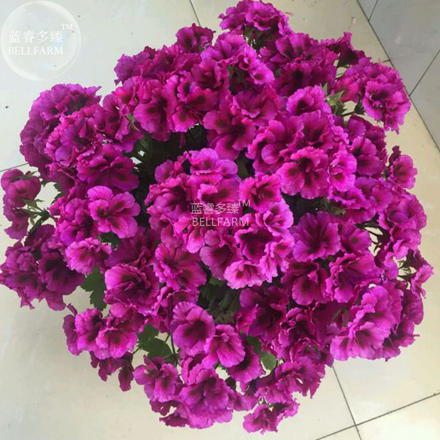 Us 199 bellfarm geranium dark purple violet butterfly us 199 bellfarm geranium dark purple violet butterfly perennial bonsai flowers 10pcsseedspack big blooms compact flowers deargogo mightylinksfo
