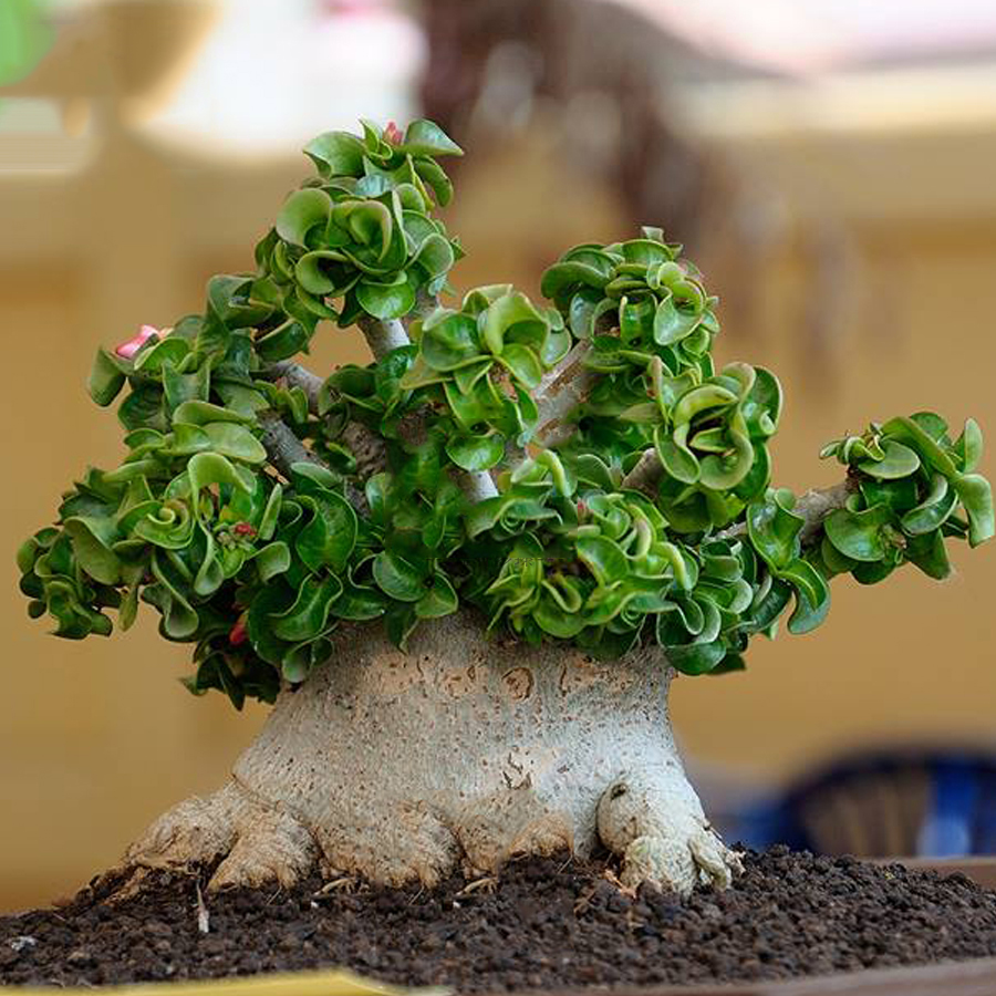 BELLFARM Dorset Horn Adenium Seeds, 2pcs Dwarf Desert Rose Tree Bonsai  Interesting Unique for Home Garden