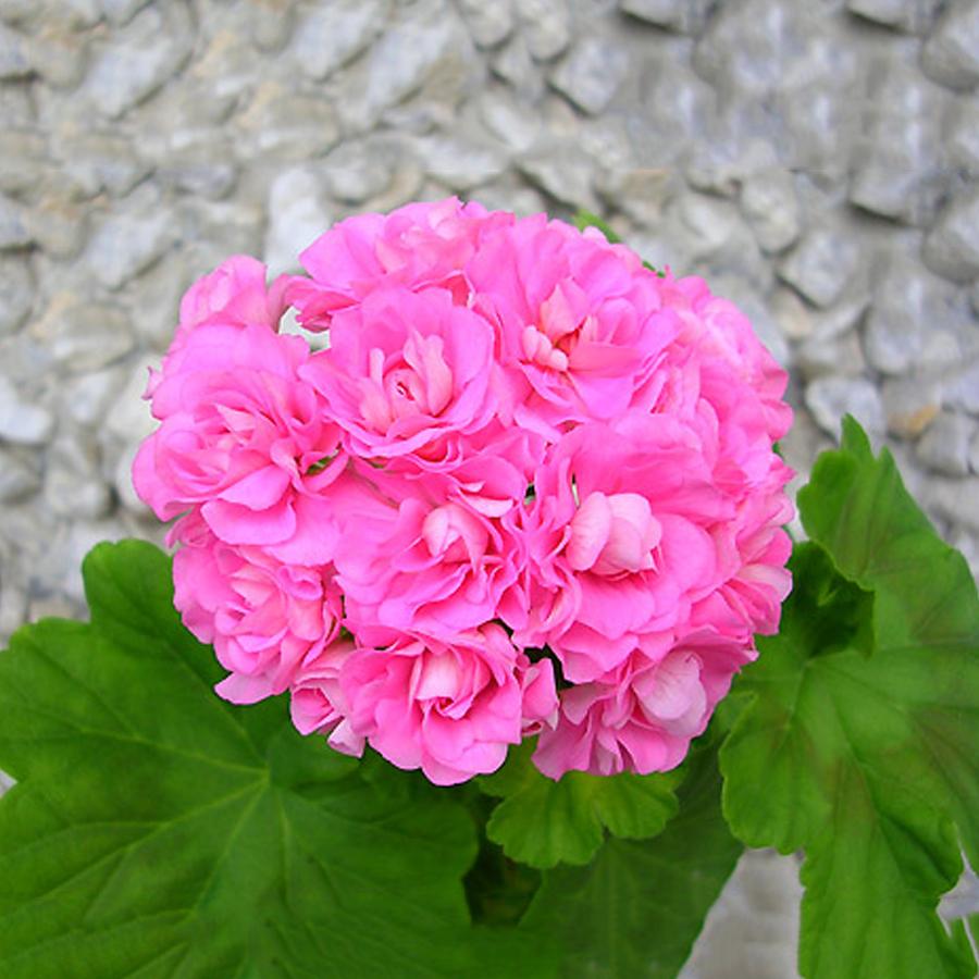 Us 199 10pcs Swanland Pink Australien Pink Rosebud Zonal