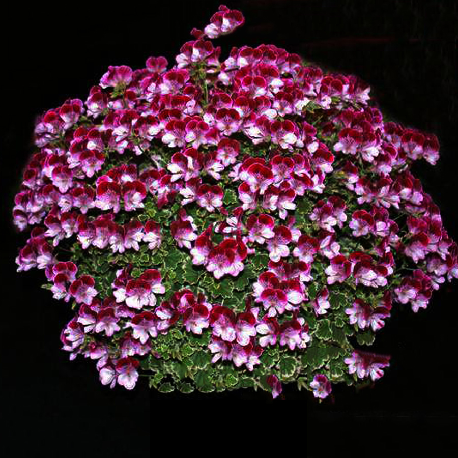 Us 199 Geranium Colorful Butterfly Blackish Red White Flowers