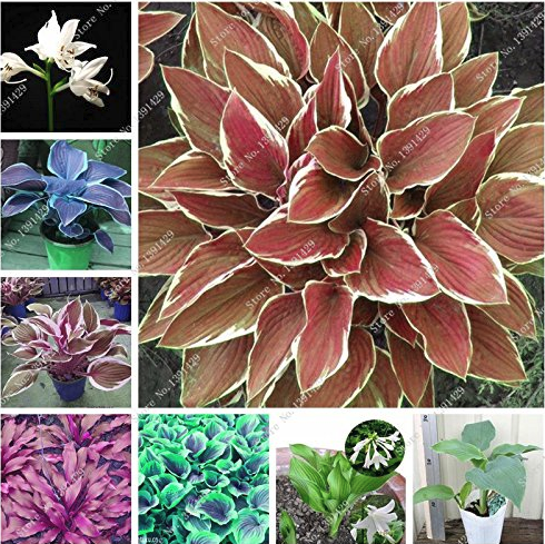 Us 134 Exotic Hosta Plant Seed Four Seasons Flower Perennial