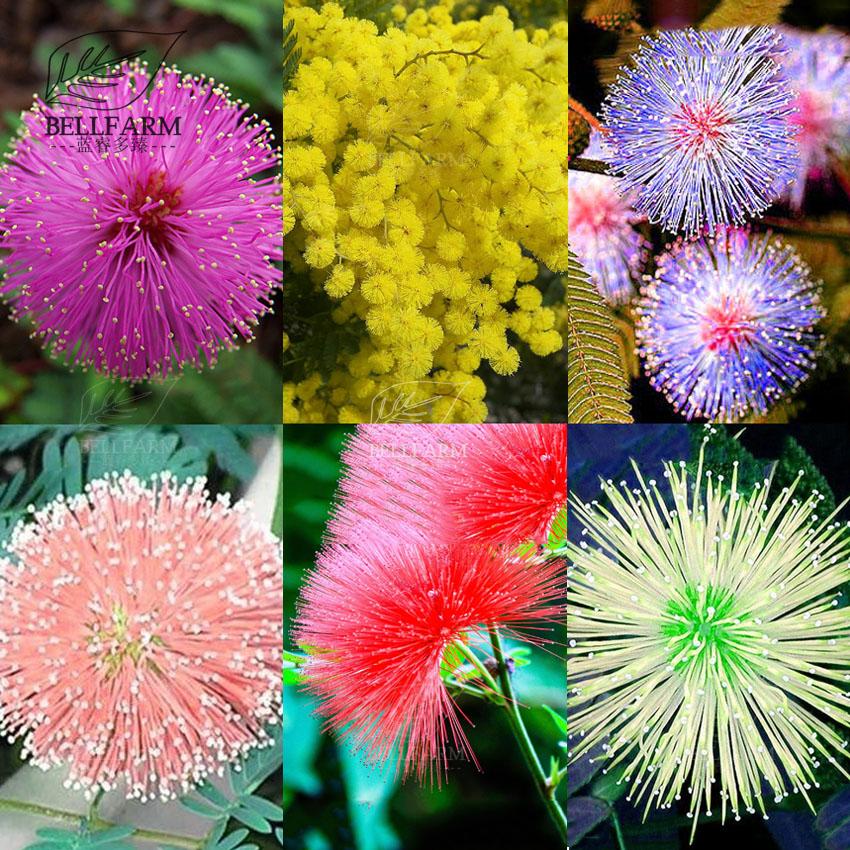 US$ 1.79 - BELLFARM 20pcs 6 Colors Yellow Pink Red Mimosa Pudica Bonsai Seeds Flowers Sensitive Plant Home Garden Bonsai DIY Perennial - www.deargogo.com