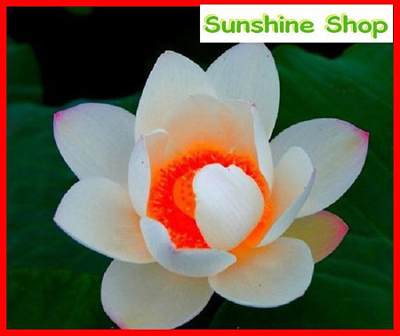 Us 199 Red Heart Lotus Flower Seeds Gorgeous Aquatic Plant Diy