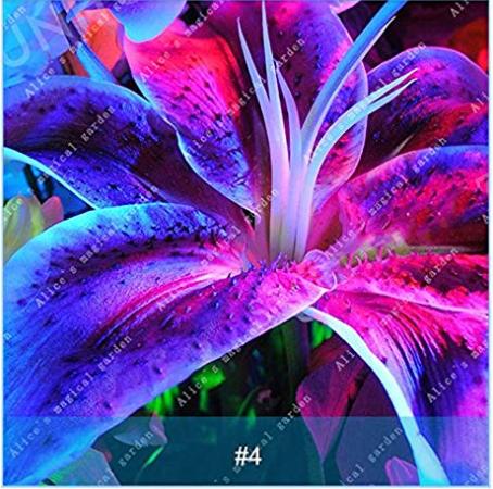 Us 299 1 pcs colourful lily bulb bonsai rare perennial fragrant us 299 1 pcs colourful lily bulb bonsai rare perennial fragrant plants flower bulbs not seeds rainbow flower deargogo mightylinksfo