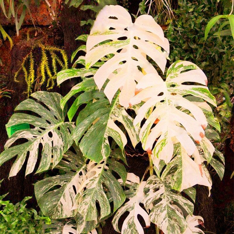 Palm Tree Turtle Leaves Monstera Variegated Seeds Rare Tree Mixed color  Ornamental DL303C