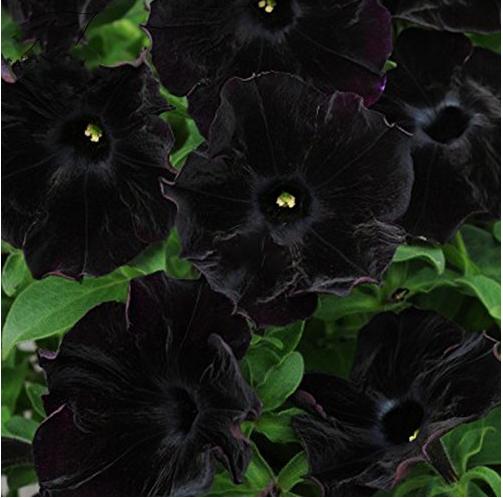 Us 2 39 Petunia Black Velvet Bonsai Annnual Flowers 200pcs