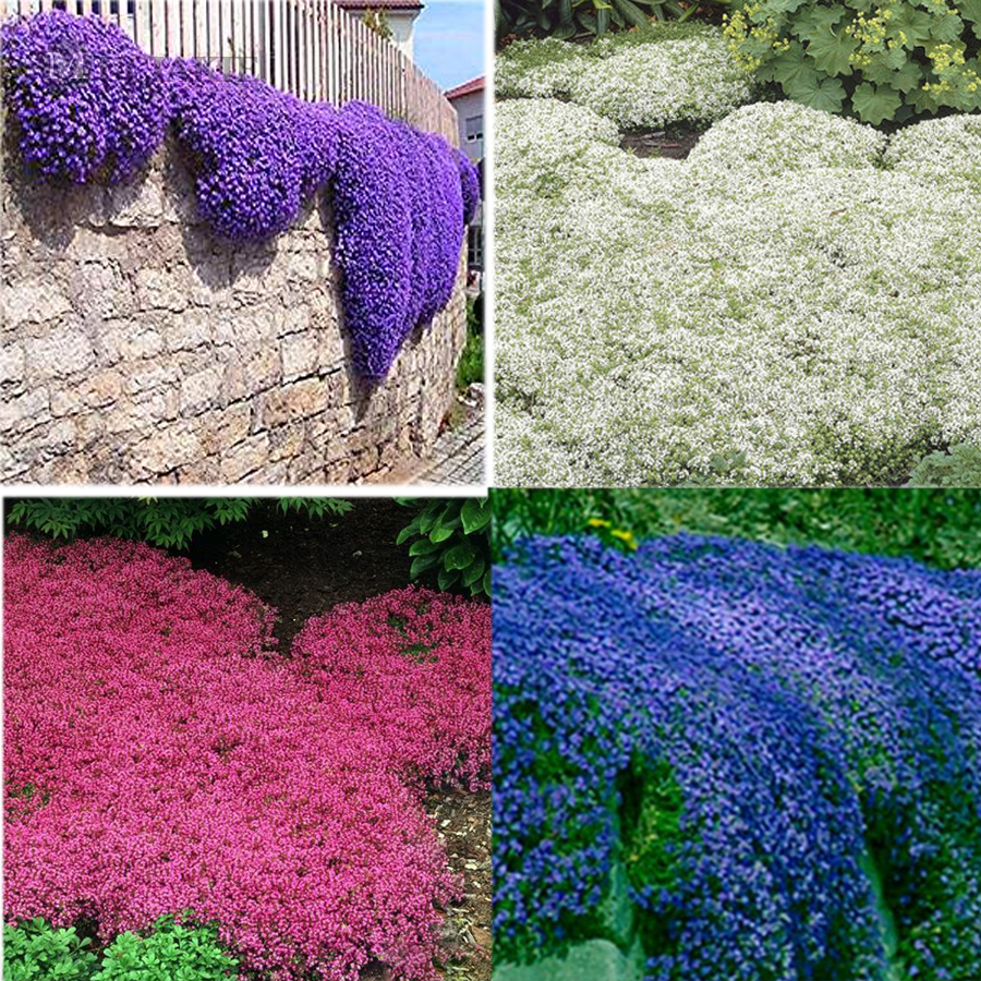 Us 134 100pcsbag creeping thyme seeds or blue rock cress seeds us 134 100pcsbag creeping thyme seeds or blue rock cress seeds perennial ground cover flower natural growth for home garden multi colored mightylinksfo