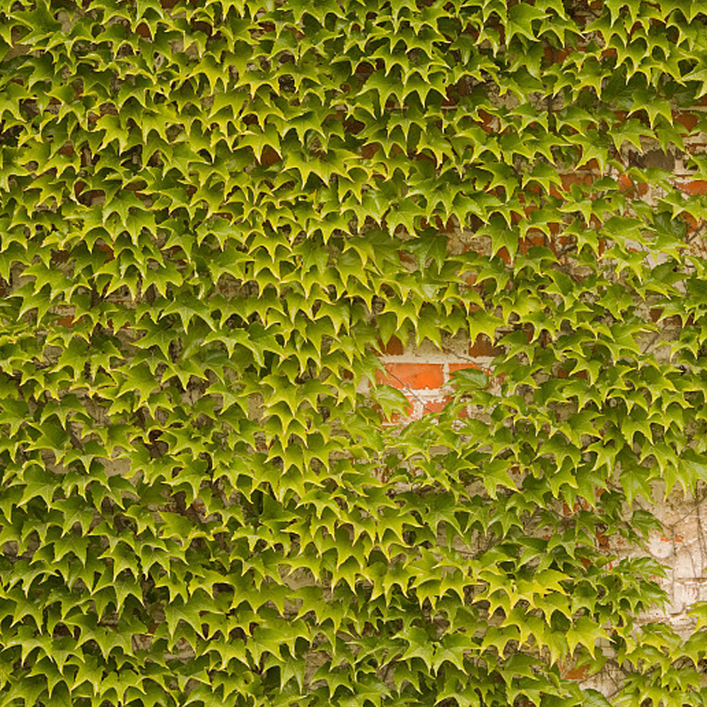 BELLFARM Boston Ivy Outdoor Creepers Plant Seeds, 100 Seeds/Pack, Perennial Climbing Ornamental Plants