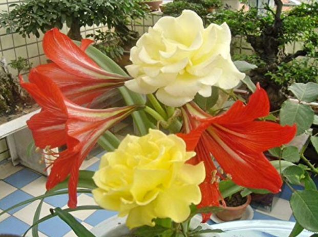 Hippeastrum Seeds Bonsai Amaryllis Barbados Lily DIY Home Garden Lily Potted Bonsai Balcony Flower 100 pcs/Bag