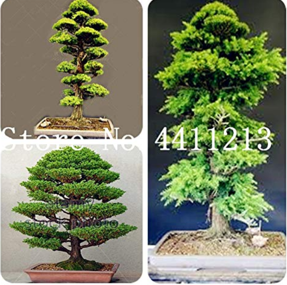 10 Pcs/Bag Mini Japanese Cedar Seed Tree Easy to Plant Seed Home Garden Decoration The Budding Rate 97% - (Color: Mixed)