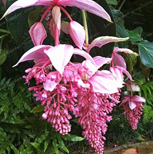 Medinilla Magnifica Bonsai Very Beautiful Bonsai Flower Bonsai Plant for Home Garden Decoration Flower Bonsai 100 Pcs