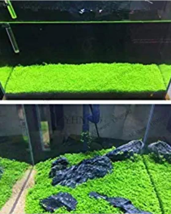 500 Pcs Aquarium Glossostigma Hemianthus Callitrichoides Bonsai Water Grass Mini Leaf Live Plant Fish Tank Decorat - (Color: Mix)
