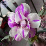 BELLFARM Adenium White Petals Purple Stripe Spot Flower Seeds, 2 seeds, professional pack, 2-layer big blooms home garden bonsai