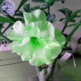 BELLFARM Bright Green Adenium Desert Rose Flower Seeds, 2 seeds, 3-layer big blooms home garden rare flowers
