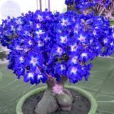 BELLFARM Adenium Dark Blue Petals Light Pink Eye Flower Seeds, 2 seeds, professional pack, single petal compact truss flowers