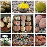 Pebble Plant Mix Cactus Lithops Succulents Living Stones Seeds