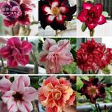 BELLFARM Adenium Mixed 9 Types of Desert Rose Flower Seeds, 50 seeds, professional pack, colorful double petals big blooms