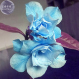 BELLFARM Adenium Sky Blue Petal Flower Seeds, 2 seeds, professional pack, 10-layer big blooms home garden bonsai