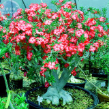 BELLFARM Adenium Whitish Red Petal Flower Seeds, 2 seeds, professional pack, single-layer compact bonsai tree flowers
