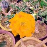 BELLFARM Golden Adenium Desert Rose Flower Seeds, 2 seeds, 3-layer big blooms new variety home garden flowers BD197H
