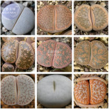 BELLFARM Mixed 9 Types of Lithops pseudotruncatella Seeds, 10 seeds, professional pack, 100% right varieties living stones