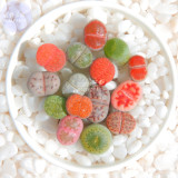 BELLFARM Mixed 10 Types of Lithops Succulent Seeds, 10 seeds, professional pack, green red gray bi-color living stones