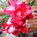 BELLFARM Adenium Dark Rose Red Petals with part of White Petal Flower Seeds, 2 seeds, 6-layer big blooms for bonsai home