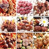 BELLFARM Mixed 9 Types of Lithops Conophytum Seeds, 10 seeds, professional pack, 100% right varieties living stones