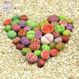 BELLFARM Lithops Mixed 10 Types of Living Stones Seeds, 10 seeds, mixed green red orange grey white etc.