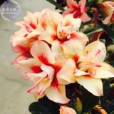 BELLFARM Adenium Redish Orange Petals Dark Red Centre Edge Flower Seeds, 2 seeds, 4-layer desert rose home garden bonsai