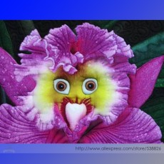the World's Rarest Baby Face Orchid Perennial Flower Seeds