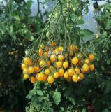 Cherry Tomato 'Yellow Grape' Fruit Seeds
